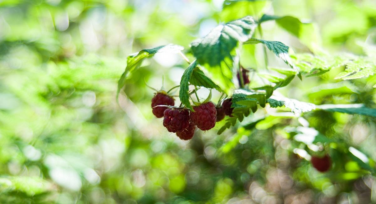 Kvidaheia - Frodig og mye bær i Spjodedalen